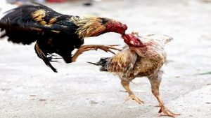 Agen Sabung Ayam Online Terbaik Indonesia